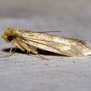 Tineola bisselliella, the clothes moth. Wikipedia.