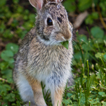 Rabbit Enjoying a Spring Meal by Joanne Bouknight