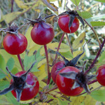Rose hips at McKnight Prairie