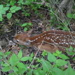 Fawn in the Arboretum