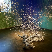 Three thousand butterflies burst from a dead zebra as part of Kelly Connole's artistic vision.