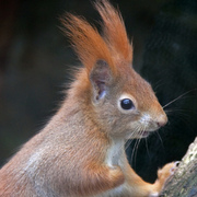 A red squirrel, photographed by Tony Hisgett.