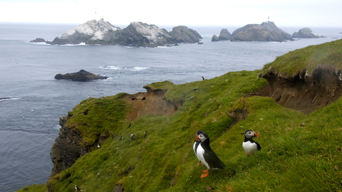Puffins and the Shetland Islands, Scotland