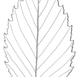 Example of leaf of American Elm