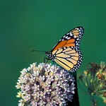 A monarch butterfly on a cluster of milkweed flowers. Photo by Thomas Barnes.