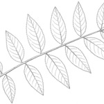 Example of leaf of Black Walnut