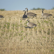 Canada Geese In Field By Tom Roster