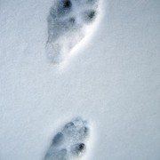 Fox Tracks in the Snow