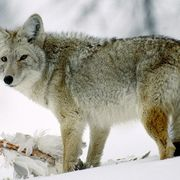 Coyote in Snow from National Geographic