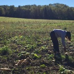Fangge Deng '19 harvesting butternut squash at Seeds Farm, Fall 2015