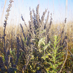 Leadplant on McKnight Prairie