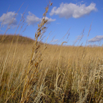 Indian Grass on McKnight Prairie