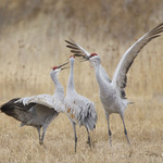 Three Cranes Displaying