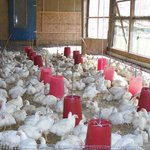 Callister Chicken Farm