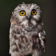 Small Owl by Berett Wilber